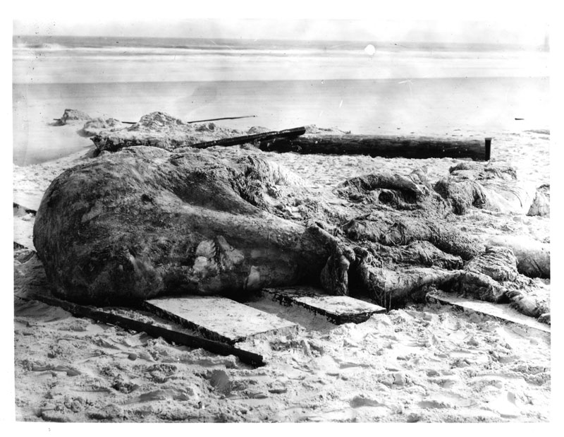 The St. Augustine Monster,1897, by DeWitt Webb, photograph: National Museum of Natural History, STR1