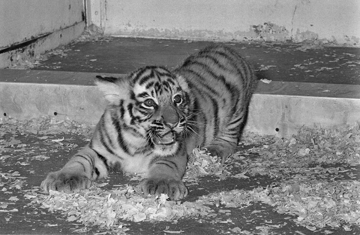 Kesari, cub of Smithsonian National Zoological Park's white tigress, Mohini Rewa, at play, March 24,